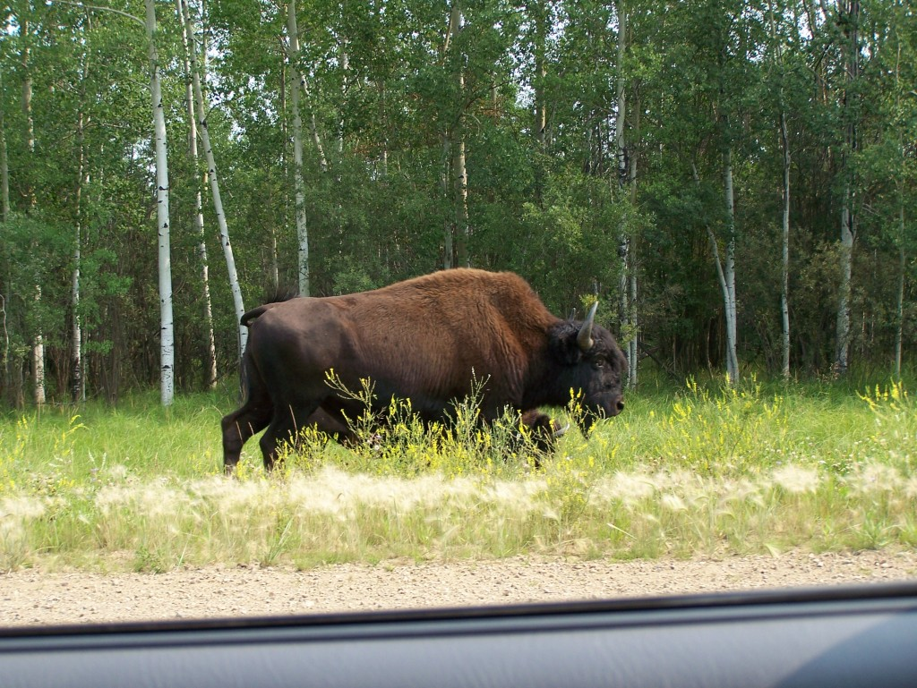 Bison along the road